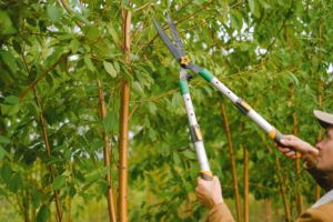 6 Differences Between Tree Pruning and Tree Trimming